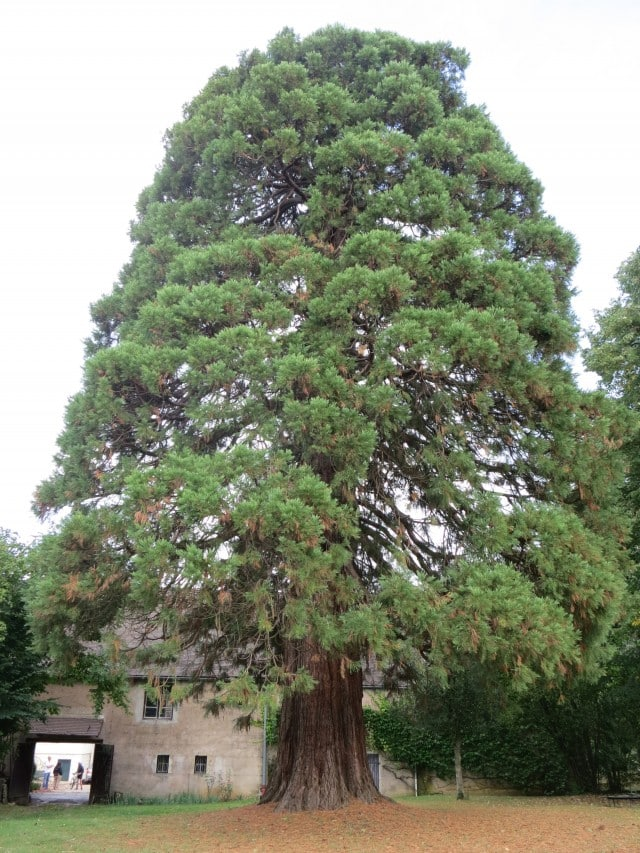 Sequoia Tree in Burgundy France