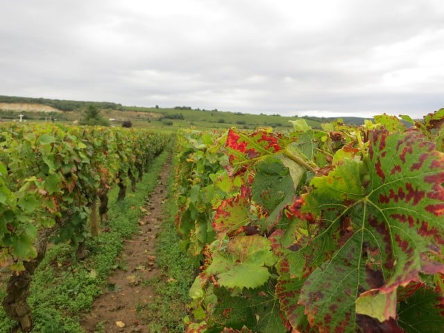 Ripening Vines in Burgundy France