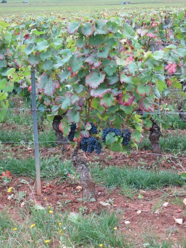 Grapes Burgundy Wine Tasting Côte d'Or France 2foodtrippers