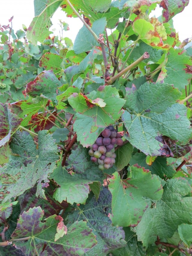 Grapes on the Vine - Note that 2012 may not be a great year. Burgundy Wine Tasting Côte d'Or France 2foodtrippers