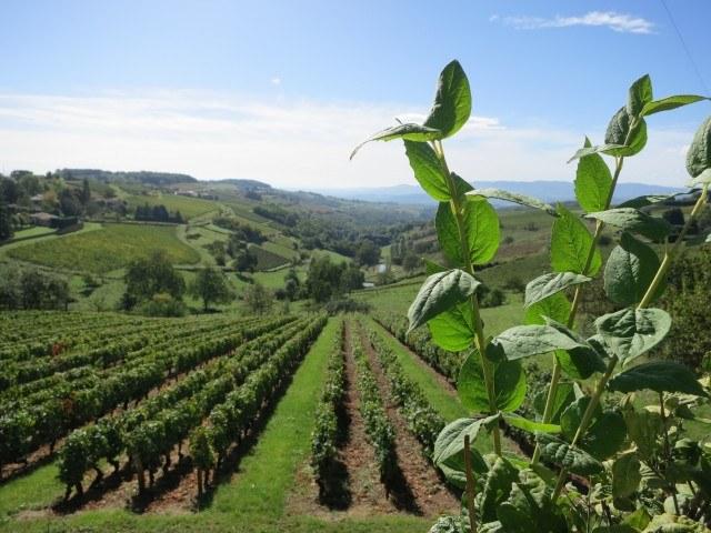Vines Beaujolais France