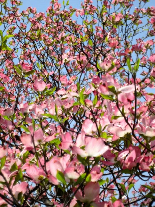 Sokura Cherry Blossoms in Tokyo Japan