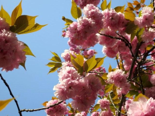Cherry Blossoms Kyoto Japan Around Kyoto
