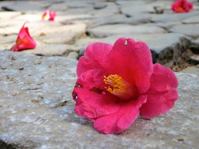 Hõnen-in Flower Kyoto Japan Around Kyoto
