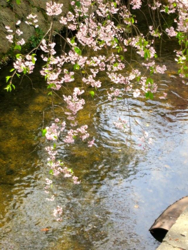 More Cherry Blossoms Kyoto Japan Around Kyoto