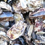 Carlingford Oyster Company – Visit to an Irish Oyster Farm