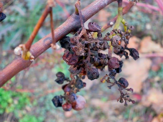 Grapes on the Hershey Harrisburg Wine Trail