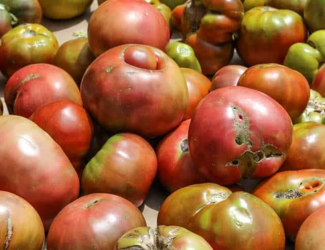Ugly Heirloom Tomatoes at Headhouse Farmer's Market in Philadelphia Pennsylvnia