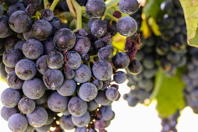 Grapes on the Vine in Basilicata Italy