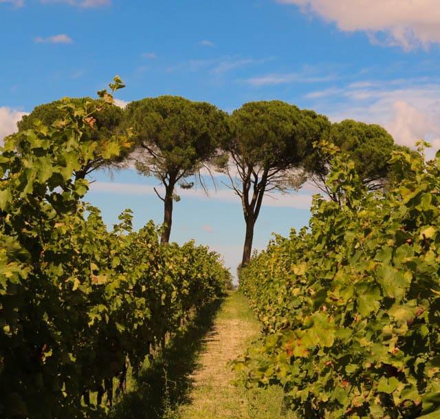 Vines and Umbrella Pines in Basilicata Italy