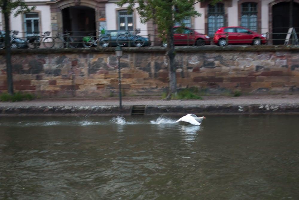 Swan in Strasbourg France