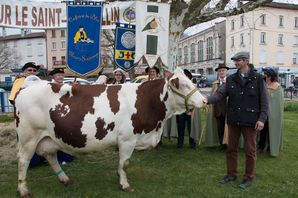 The cows take a prominent role at the Fête du Saint-Marcellin. cheese france