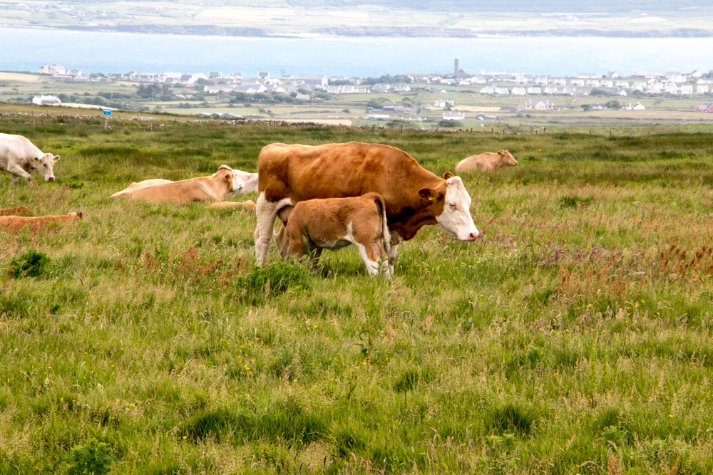 Cows graze in the land that spans between the Cliffs of Moher and the attraction's parking lot. Ireland Road Trip