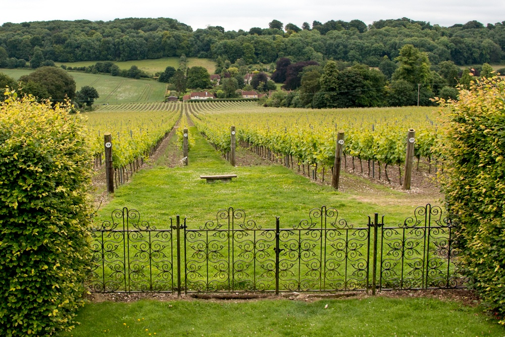 This sloping hill with rows of grape vines is not in France. It is at Hambledon Vineyard in England's Hampshire county. English Sparkling wine at Hambledon Vineyard