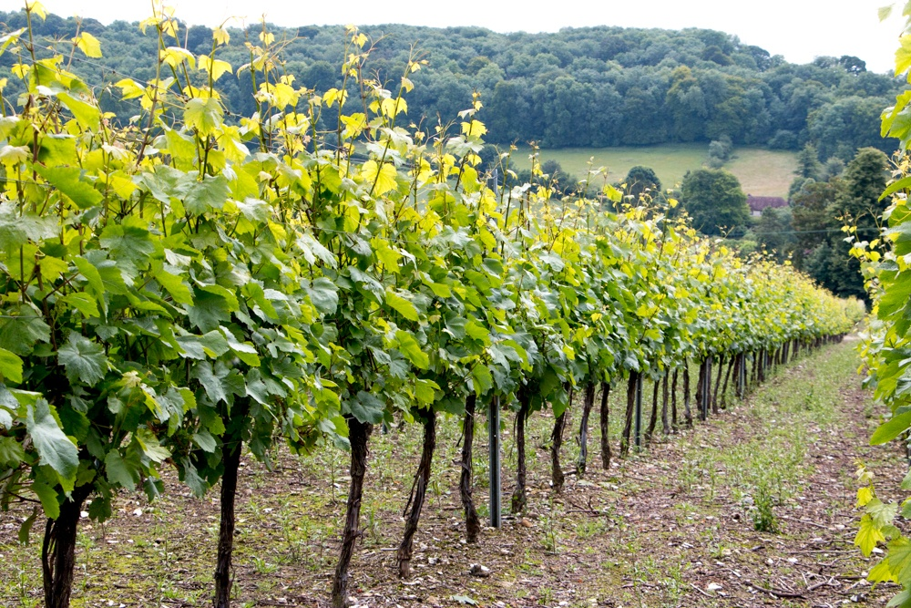 Chardonnay, Pinot Noir and Pinot Meunier Grapes on the Vine at Hambledon Vineyard. The vineyard's terroir has many similarities to France's Champagne region. English Sparkling Wine at Hambledon Vineyard