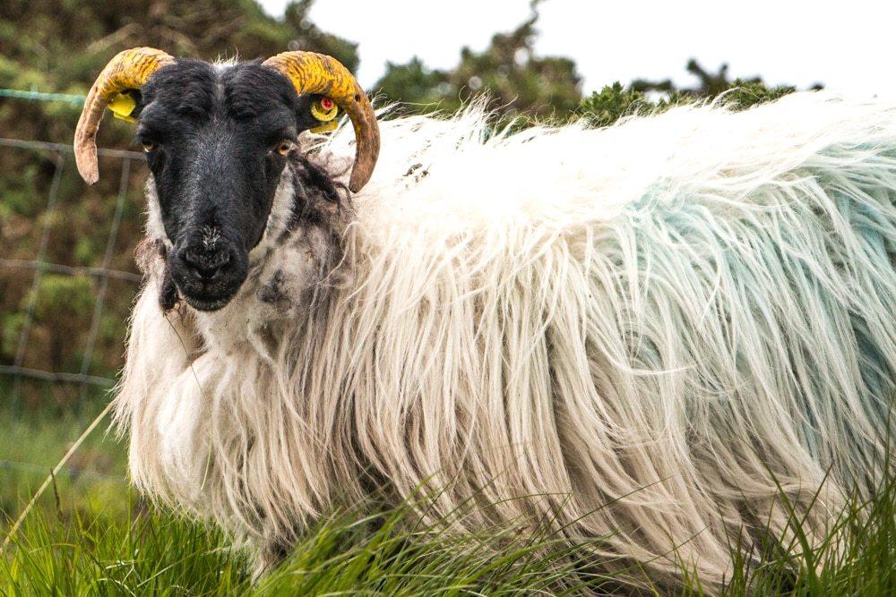 Connemara Black Head Sheep - Ireland Road Trip