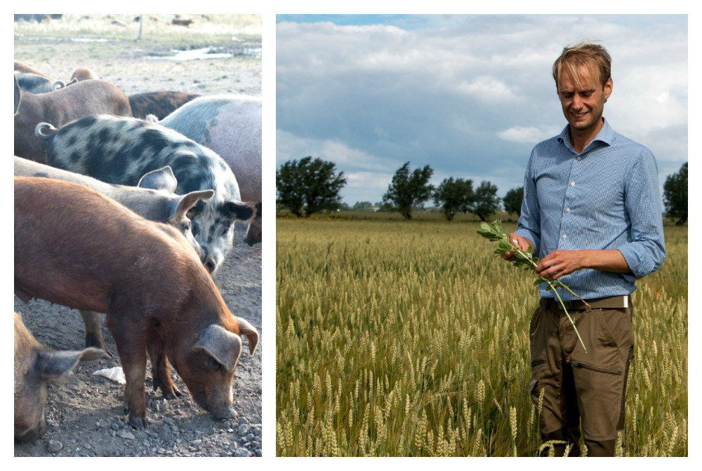 Ängavallen is a working farm where the Nordström family raises animals using organic practices and a holistic approach. Niclas Nordström shows us through fields of emmer wheat. Gastronomic Tour of Southern Sweden in Skåne