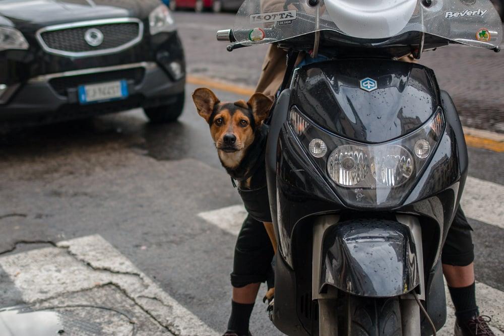 Dog on Vespa in Naples Italy