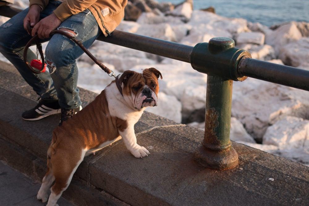 English Bulldog in Naples Italy