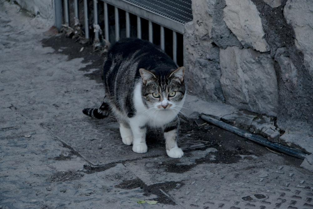 Fat Cat in Naples Italy