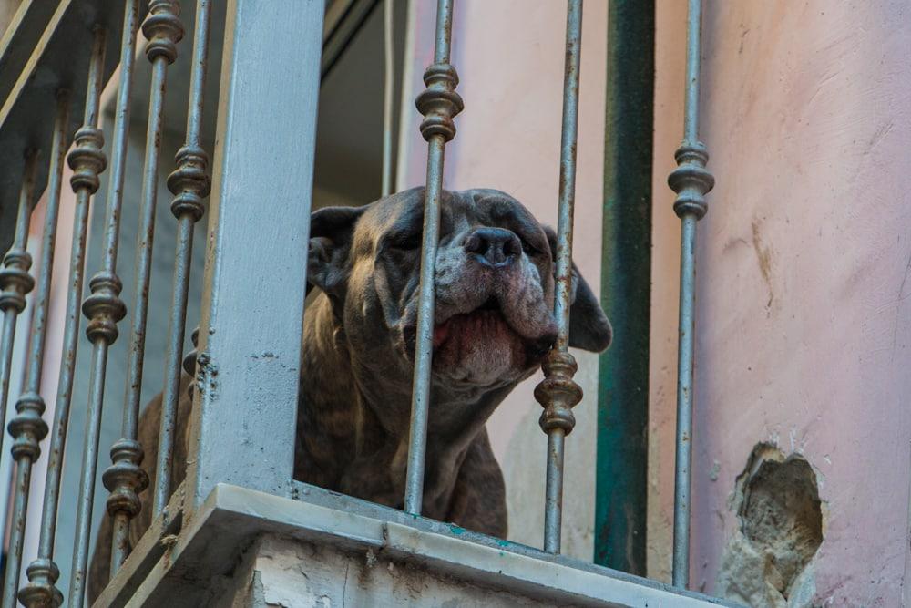 Dog on Balcony in Naples Italy