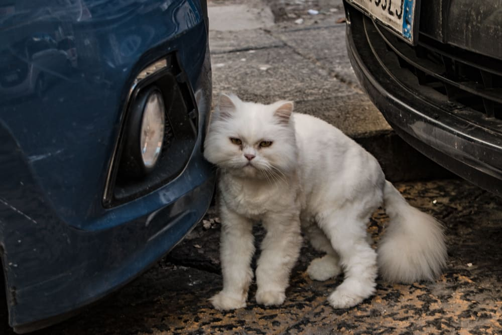 Cat Next to Car in Naples Italy