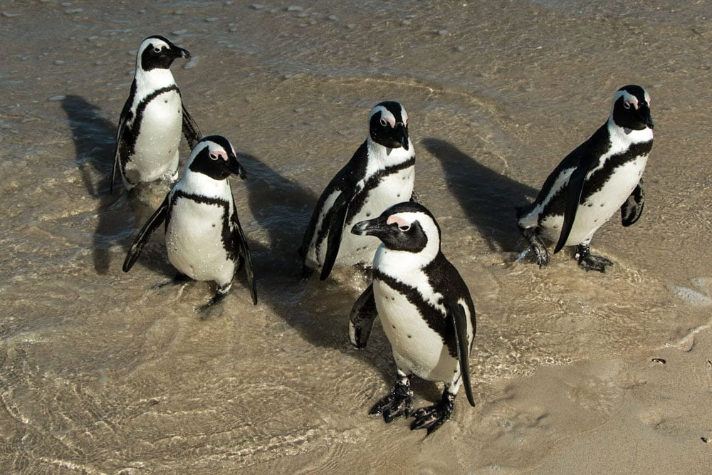 African Penguins in Cape Town South Africa