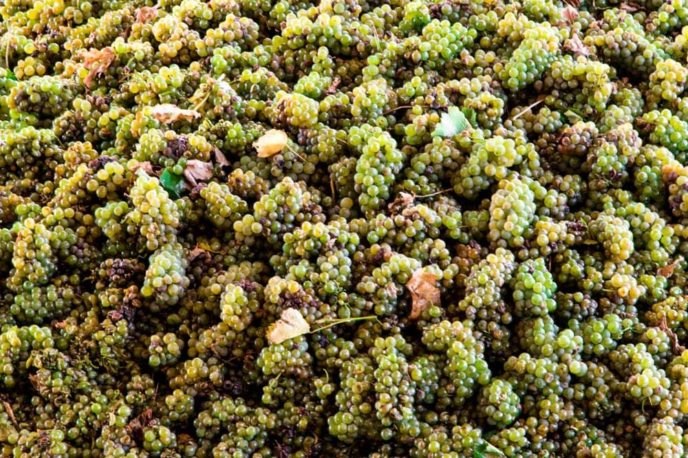 Durbanville Grapes - Cape Town Day Trip to the Durbanville Wine Farms