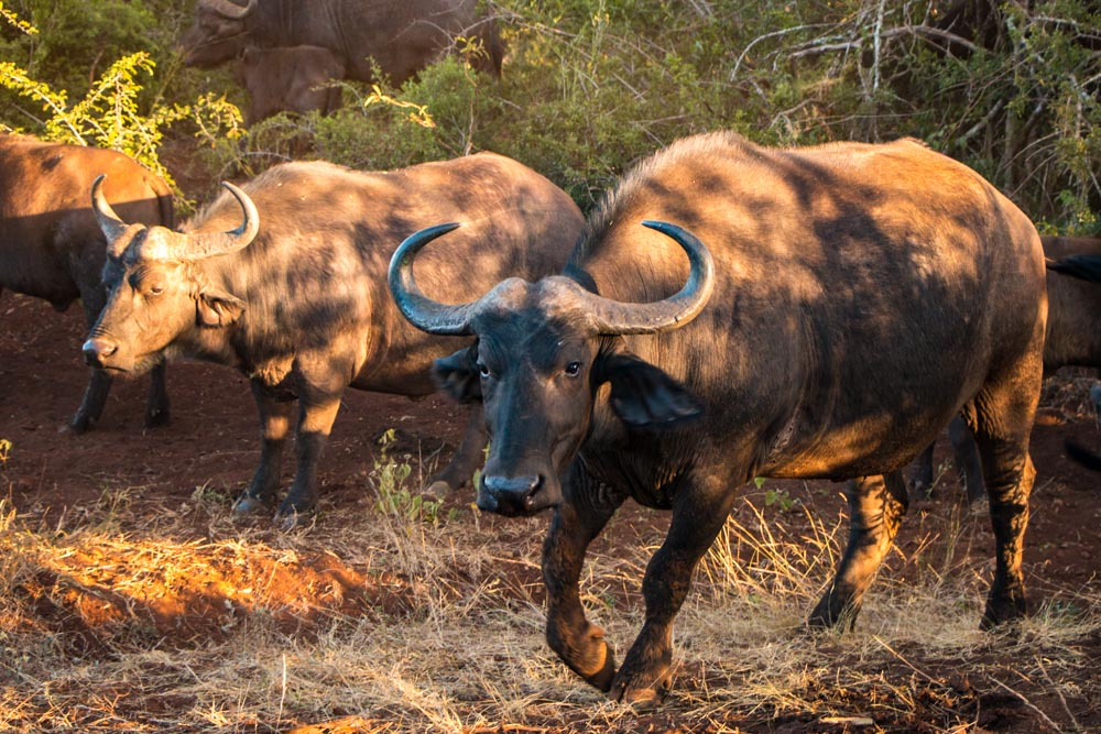 Cape Water Buffalo in South Africa
