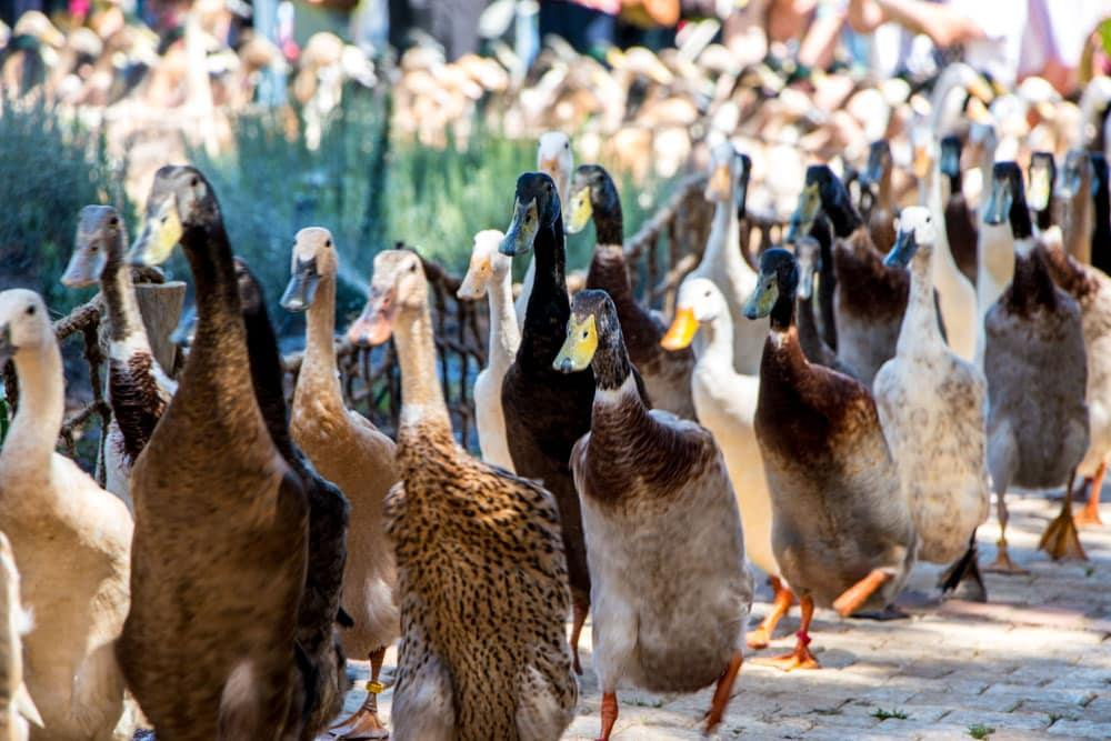 Duck Parade at Vergenoegd Wine Estate in Stellenbosch South Africa