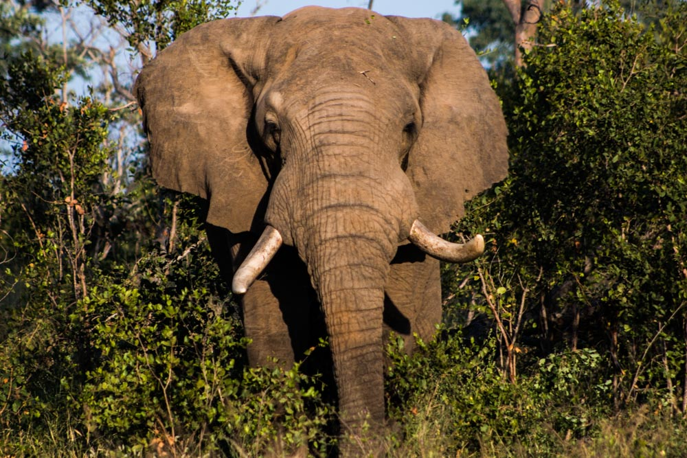 Elephant at Kirkman's Kamp in South Africa