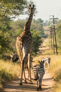 Fast Friends - Ultimate African Luxury Safari at Kirkman's Kamp
