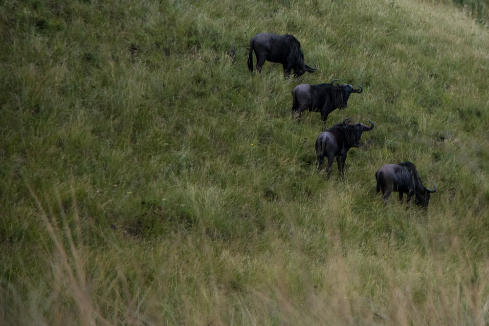 Four Wildebeest at Gwahumbe Game Lodge and Spa in South Africa