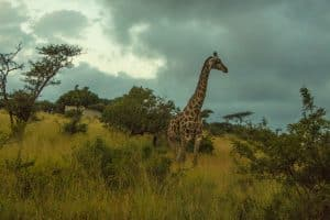 Giraffe at Thanda Safari in South Africa