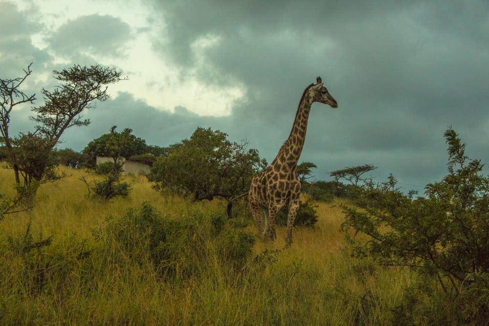 Giraffe at Thanda Safari in South Africa