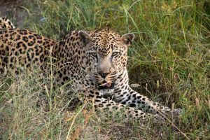 Male Leopard at Kirkmans Kamp Safari in South Africa