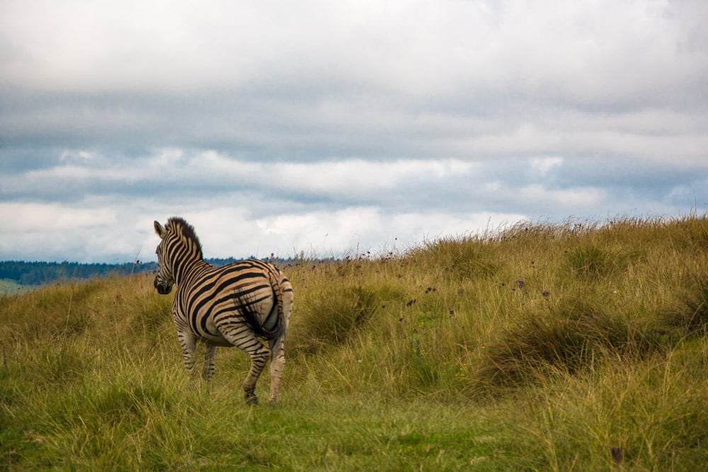 Zebra at Brahman Hills Hotel in South Africa