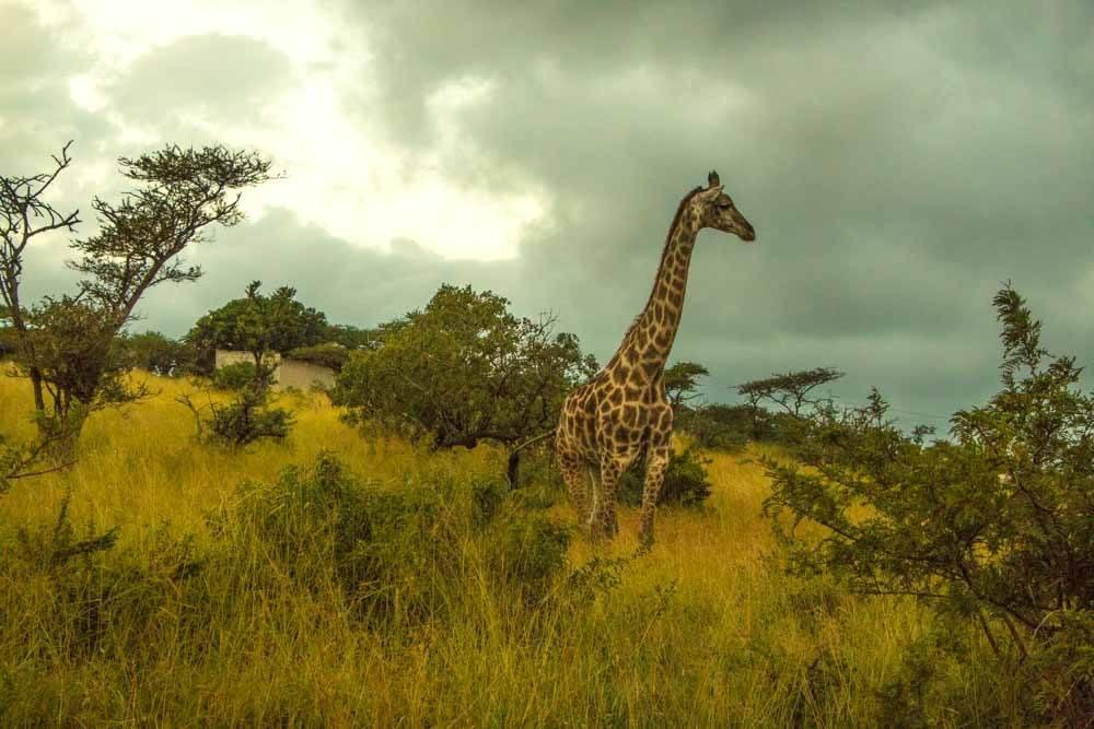 Best of 2017 - Safari Giraffe