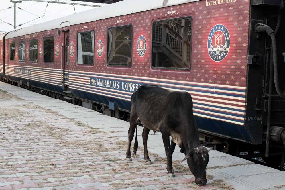 Maharajas Express Train and Cow