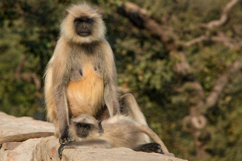 Ranthambore National Park Monkeys