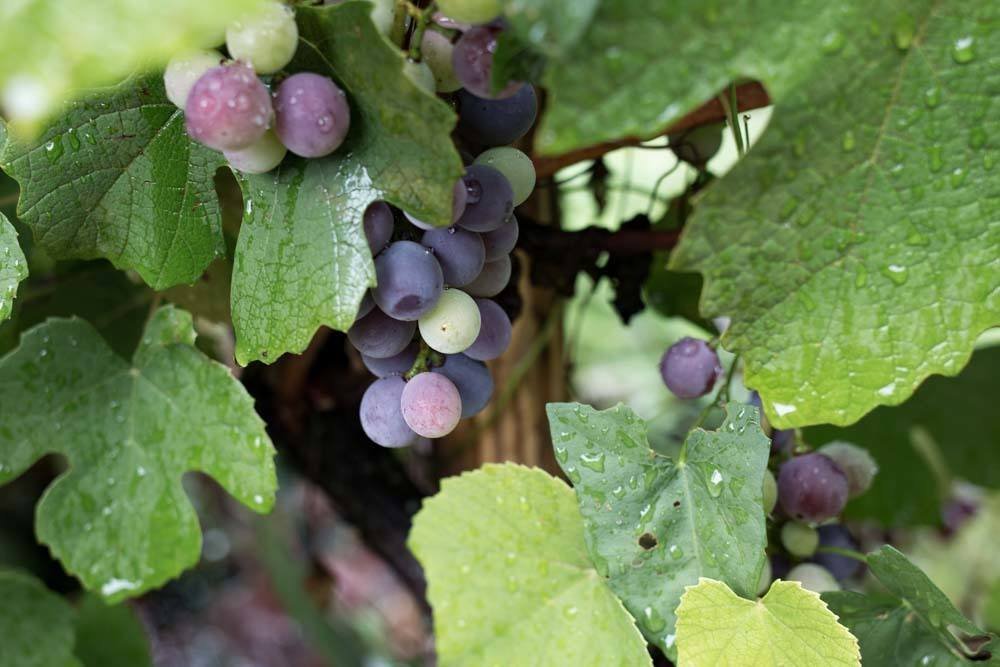 Big Berry Grapes in Slovenia
