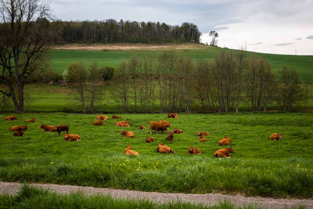 Charolais Cows in Burgundy Countryside