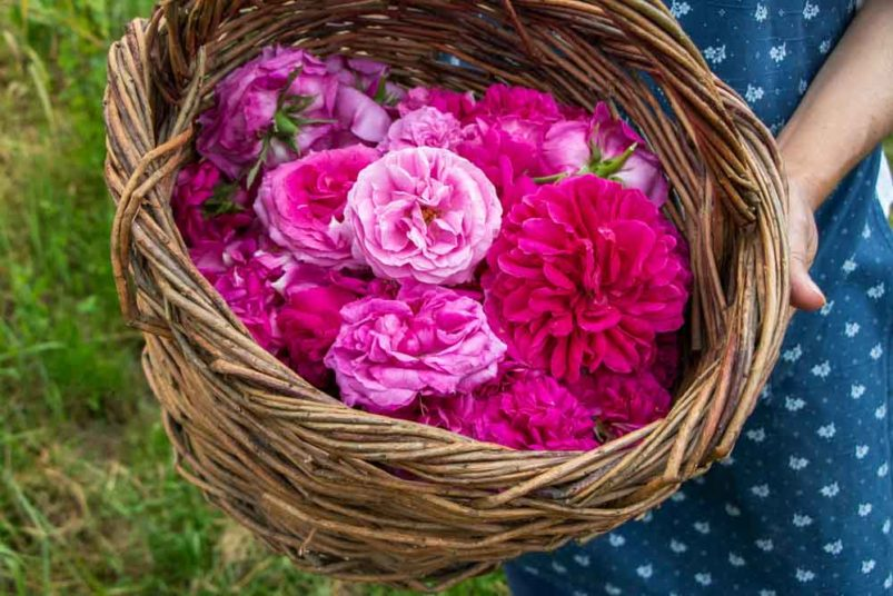Roses at Agritur Maso Flonkeri in Trentino