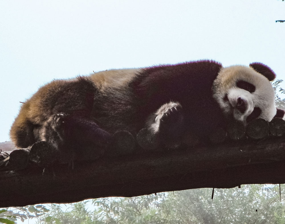 Sleeping Panda in Chengdu